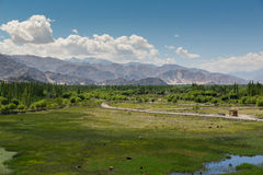 Cows pond in front of Shey Palace in Leh Ladakh. Stock Images