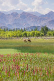 Cows pond in front of Shey Palace in Leh Ladakh. The Shey Monastery or Gompa and the Shey Palace complex are structures located on a hillock in Shey, 15 Stock Photography