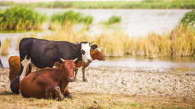 Cows at Pond stock video footage