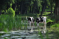 Cows in pond Royalty Free Stock Image
