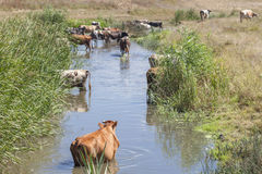 Cows in the pond water Stock Photos