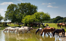 Cows and ponies together in the water Royalty Free Stock Photo