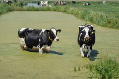 Cows in the pool. Cows standing in water seeking coolness royalty free stock image