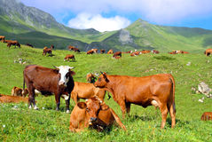 Cows in a prairie. Pasture in the mountain with a herd of brown cows Stock Photos