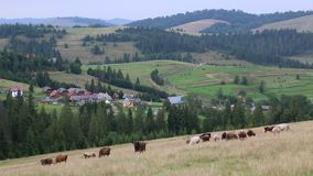 Cows on the pratum stock footage