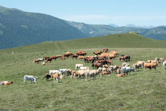Cows in Pyrenees Stock Images