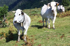 Cows in Pyrenees. Mountain cows in Aude,Pyrenees,Languedoc,France Royalty Free Stock Image
