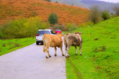 Cows in a Pyrenees road of Irati jungle at Navarra Spain Royalty Free Stock Photos