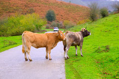 Cows in a Pyrenees road of Irati jungle at Navarra Spain Stock Photo