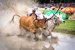 Cows racing festival Stock Image