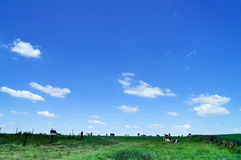 Cows On Range Land Stock Image