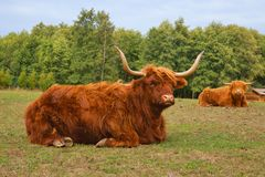 Cows, red Highland cattle Scottish Gaelic lying on pasture Stock Photo