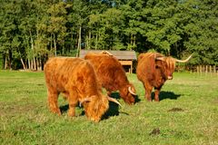 Cows, red Highland cattle Scottish Gaelic young bull and two cows on the pasture Stock Photo