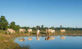 Cows reflected in the water surface Stock Images