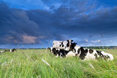 Cows relaxed on pasture Royalty Free Stock Images