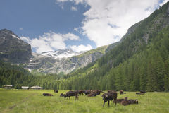Cows while relaxing on mountain background Stock Image
