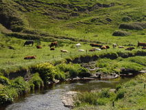 Cows Relaxing beside Stream Royalty Free Stock Photos