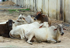 Cows relaxing on street Stock Photography