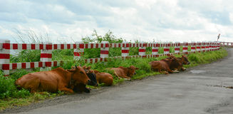 Cows relaxing on street in Nam Dinh, Vietnam Royalty Free Stock Photo