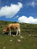Cows in Resciesa mountain. Some cows eating grasses in Resciesa mountain, Dolomiti, Italy Royalty Free Stock Photography