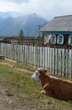Cows rest in the afternoon at the fence in the village. Cow rests in the afternoon at the fence in the village Royalty Free Stock Photo