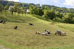 Cows rest in countryside, Germany Stock Image