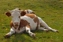 Cows resting Royalty Free Stock Photography