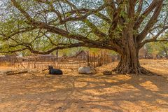 Cows resting, Bagan, Mandalay Royalty Free Stock Photography