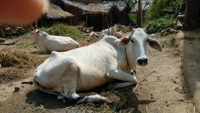 Cows resting. On the yard Stock Images
