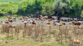 Cows resting and drinking water from a dried river Royalty Free Stock Photography