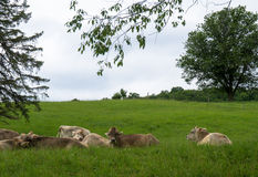 Cows resting in field Stock Photo
