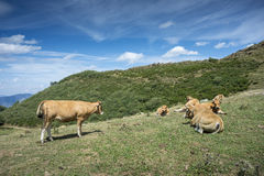 Cows resting in the field Royalty Free Stock Photography