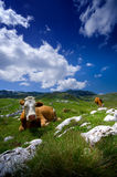 Cows resting on green grass Royalty Free Stock Photography