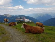 Cows resting on high alpen mountain stock image