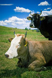 Cows resting on hill stock photos