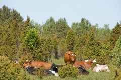Cows resting by Juniper trees Stock Images