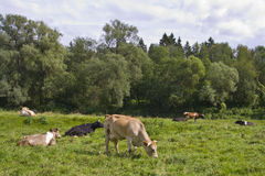 Cows resting in a meadow Stock Image