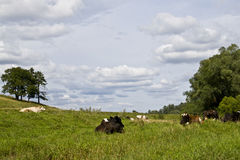 Cows resting in a meadow Stock Images