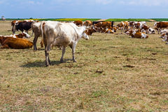 Cows are resting in a meadow. Royalty Free Stock Images