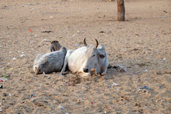Cows resting in the midday heat at the street at the Pushkar market, India Royalty Free Stock Image