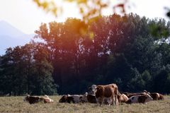 Cows in the field Royalty Free Stock Image