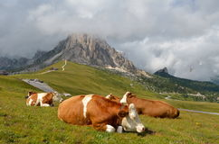 Cows resting Royalty Free Stock Images