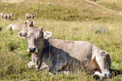 Cows resting Stock Photography