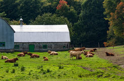 Cows resting. This is quite a country landscape, the cows resting near the farm royalty free stock photos