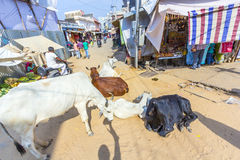 Cows resting at the street Royalty Free Stock Photos