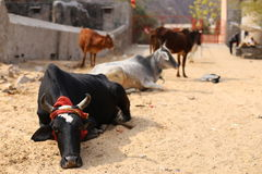 Cows resting at the street Royalty Free Stock Photography