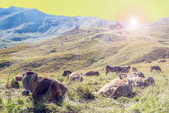 Cows resting at sunset Royalty Free Stock Image