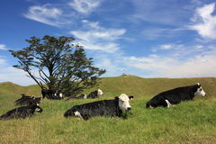 Cows resting under broad sky Royalty Free Stock Photos