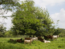 Cows resting under tree shadow Royalty Free Stock Photography
