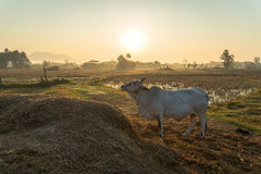 Cows in rice fields Stock Photography